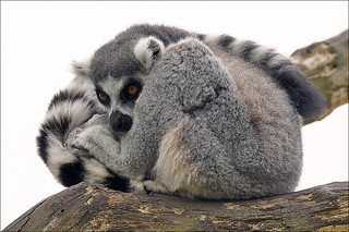 Ring-tailed Lemur | by Foto Martien