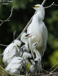 Proud Snowy Egret Mom & 4 Hungry Chicks | by Image Hunter 1