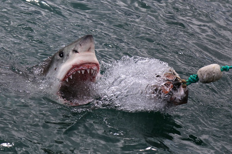 Great White Shark lunging out of water