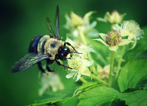 pollinating the black raspberries | by Jen MacNeill