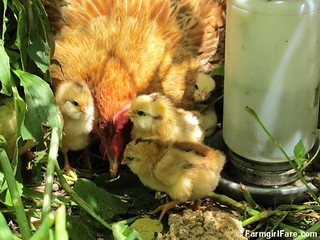 (1) Lokey and her newborn chicks | by Farmgirl Susan