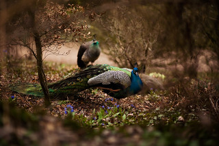 Peacocks | by creativeforaliving