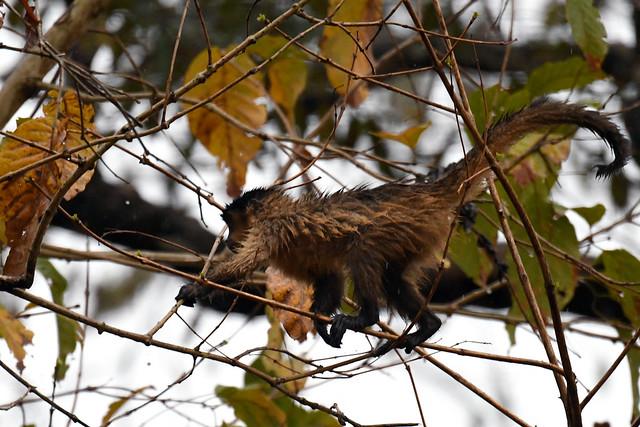 Black-striped Capuchin (Curicacá)