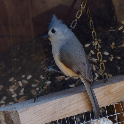 Tufted Titmouse | by Dendroica cerulea