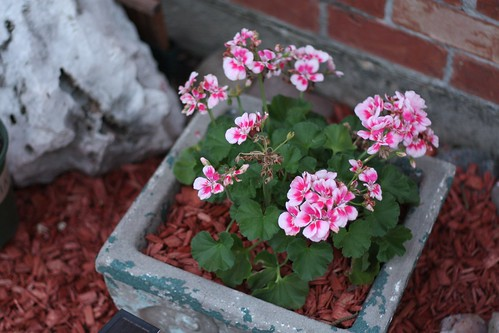 Geraniums | by niftyfoodie