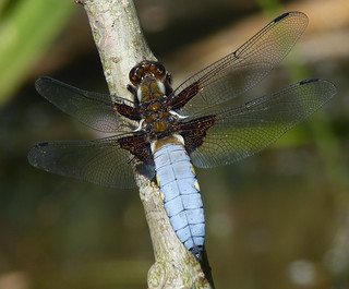 Broad-bodied Chaser Male | by Garry1968
