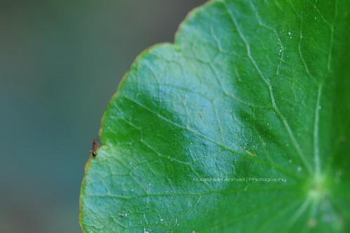 Pegaga - Centella Asiatica