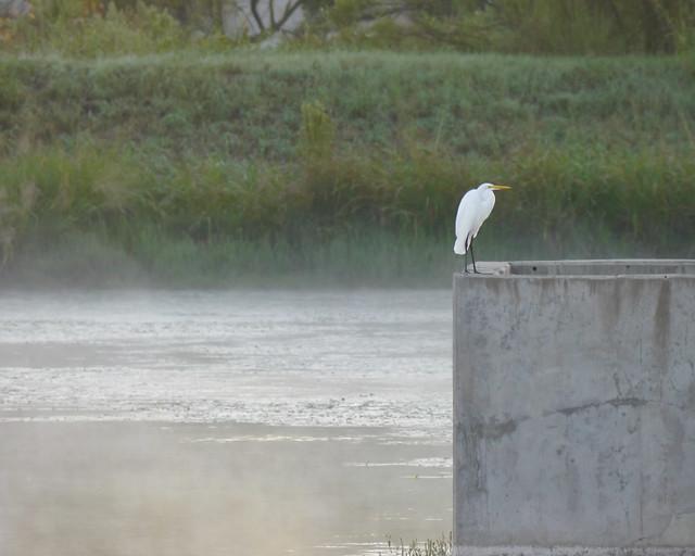 Great Egret over Misty Pond