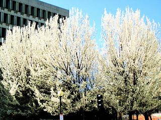 boston government center bloomed trees | by photographynatalia