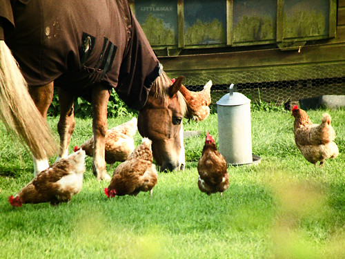 Pony & chickens... | by Esmik D'Aguiar