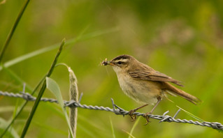 Sedge Warbler - Frampton Marsh | by PontyCyclops
