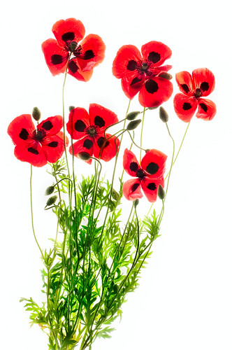 Greek Poppies