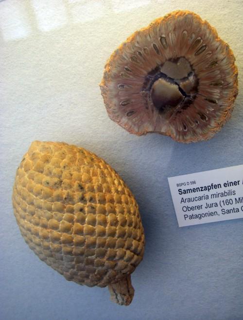 Araucaria mirabilis 29888795430_ecd9e7d324_o