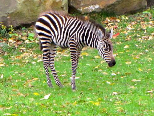 Zebra Scientific Name Baby Grant's Zebra | C...