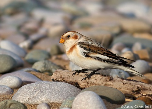 Snow Bunting - Mini Perch - Explored! | by Ashley Cohen Photography