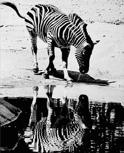 The zebra was checking out his reflection at the Cincinnati Zoo. | by Tom Hubbard1