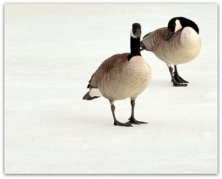 Canadian Geese in March | by m i c h e l e j e n s e n [photography]