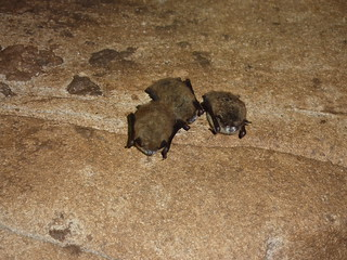 Little brown bats with white-nose syndrome, Trigg Co., KY | by USFWS Headquarters