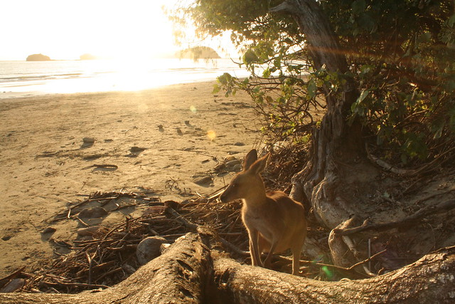 Kangaroo on the beach at Cape Hillsborough