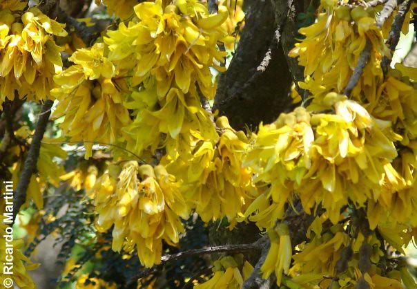 Flores de Sophora cassioides