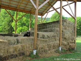 Bear on the bales | by Farmgirl Susan
