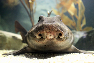 Horn Shark (head-on view) | by greyloch