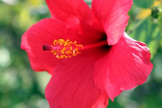 Christmas hibiscus in sunny Florida | by Kim | Affairs of Living
