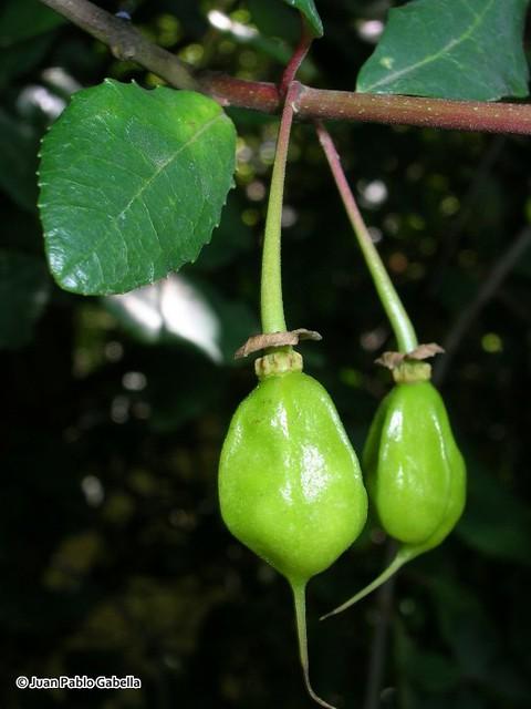 Crinodendron patagua, detalle de frutos