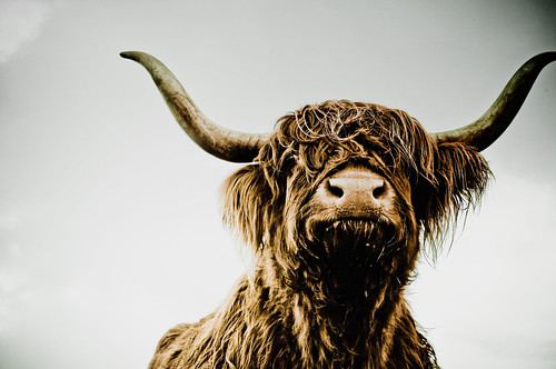 face to face with the devil - Scottish Highland Cattle | by maktub street-dog