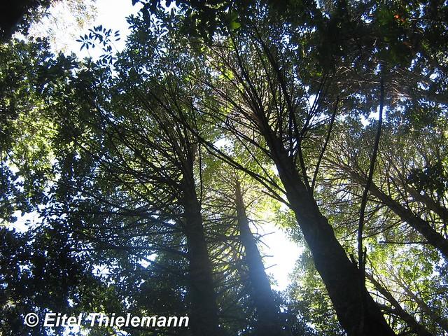 Copas de árboles de Gomortega keule