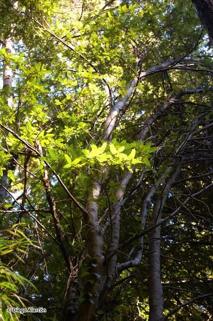 Hábito de un árbol joven de Tineo, Weinmannia trichosperma
