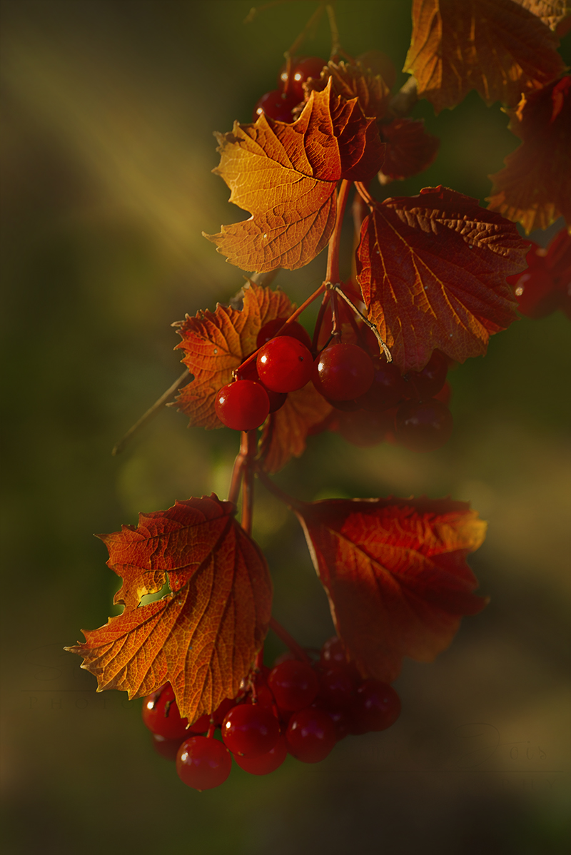 redberries3-800PX-SimiJois-2016