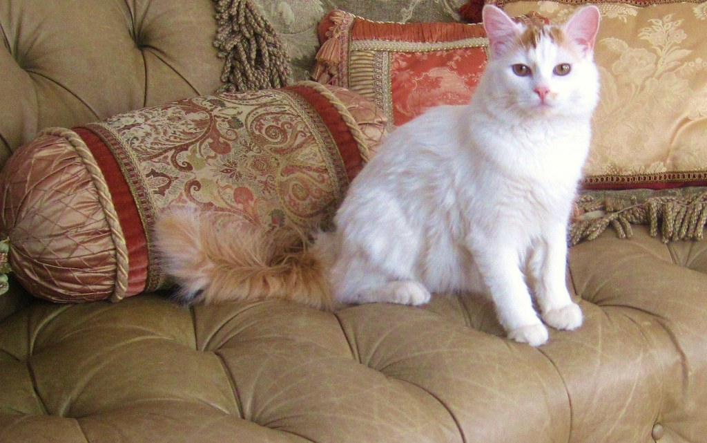 IMG_7121 Turkish Van
