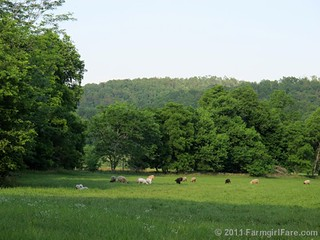 Sheep grazing in the recently cut hayfield with their livestock guardian dogs | by Farmgirl Susan