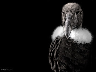 Andean Condor in monochrome | by alan shapiro photography