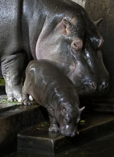 baby hippo | by CrazyM00n