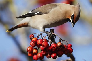 Waxwing Close Up | by Ady G.