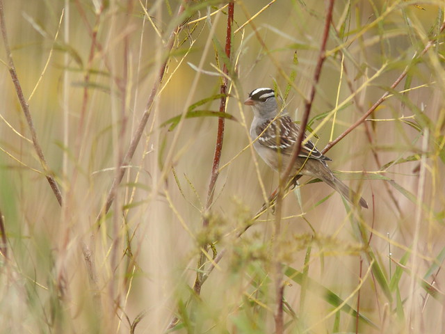 White-crowned Sparrow 20161003
