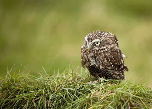 A soaked little owl (EXPLORED 27th FEB) | by Neil Parker Photography