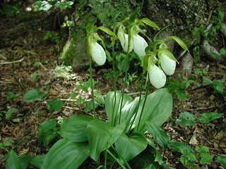 Lady Slippers | by Great Glen Trails