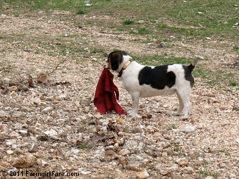 Bert ready for the bullfight 1 | by Farmgirl Susan