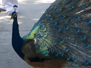 Peacock | by greenplastic875