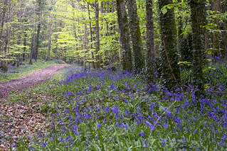 Bluebell woods | by Frank Fullard