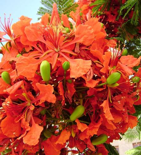 Delonix regia arbol de fuego carmen flickr for Arbol de fuego jardin