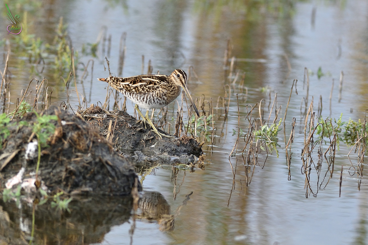 Common_Snipe_9526