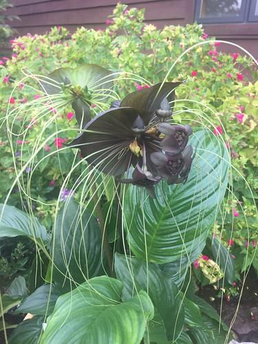 Tacca chantrieri Bat Flower BGO