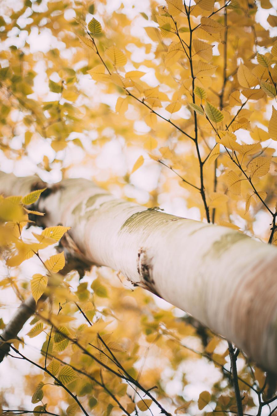 birches-24