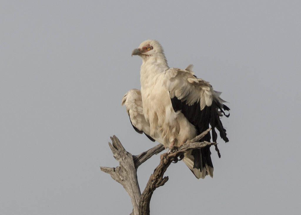 Palm Nut Vulture   Gambia 2016