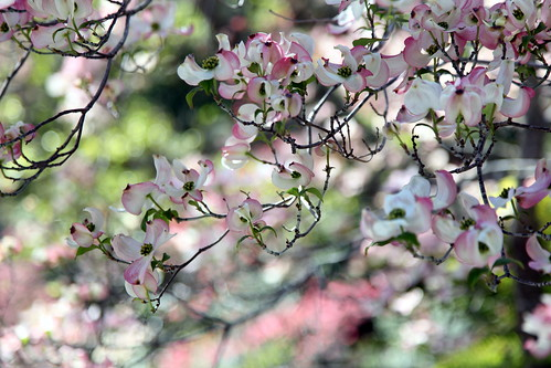 Dogwood Blossoms | by BowlLicking