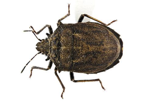 オオクロカメムシ Scotinophara horvathi Distant, 1883-1-1